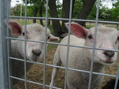 lambs livestock behind a fence